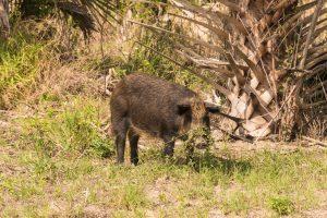 Feral Pig at Merritt Island NWR
