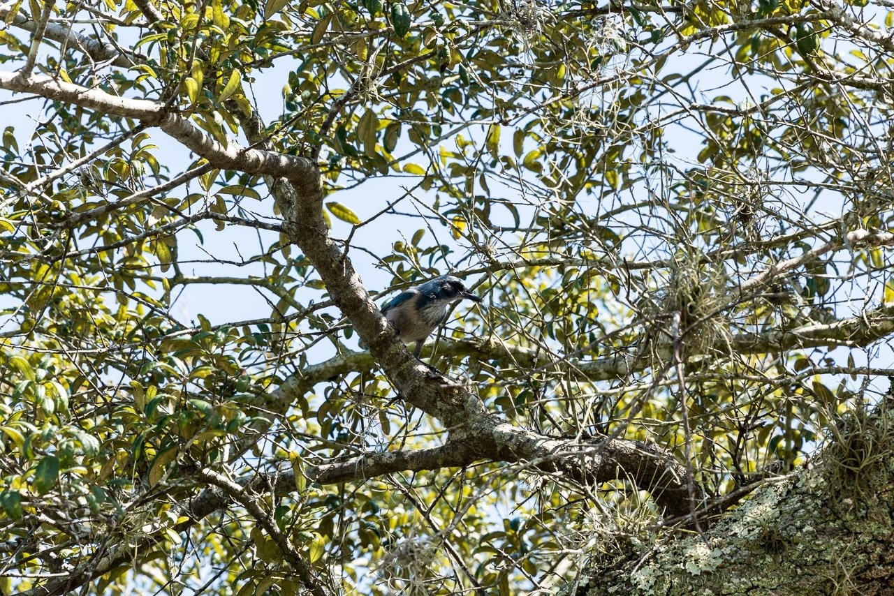 Allen-David-Boussard-Catfish-Creek-Preserve-State-Park-Scrub-Jay-Perched-In-A-Live-Oak
