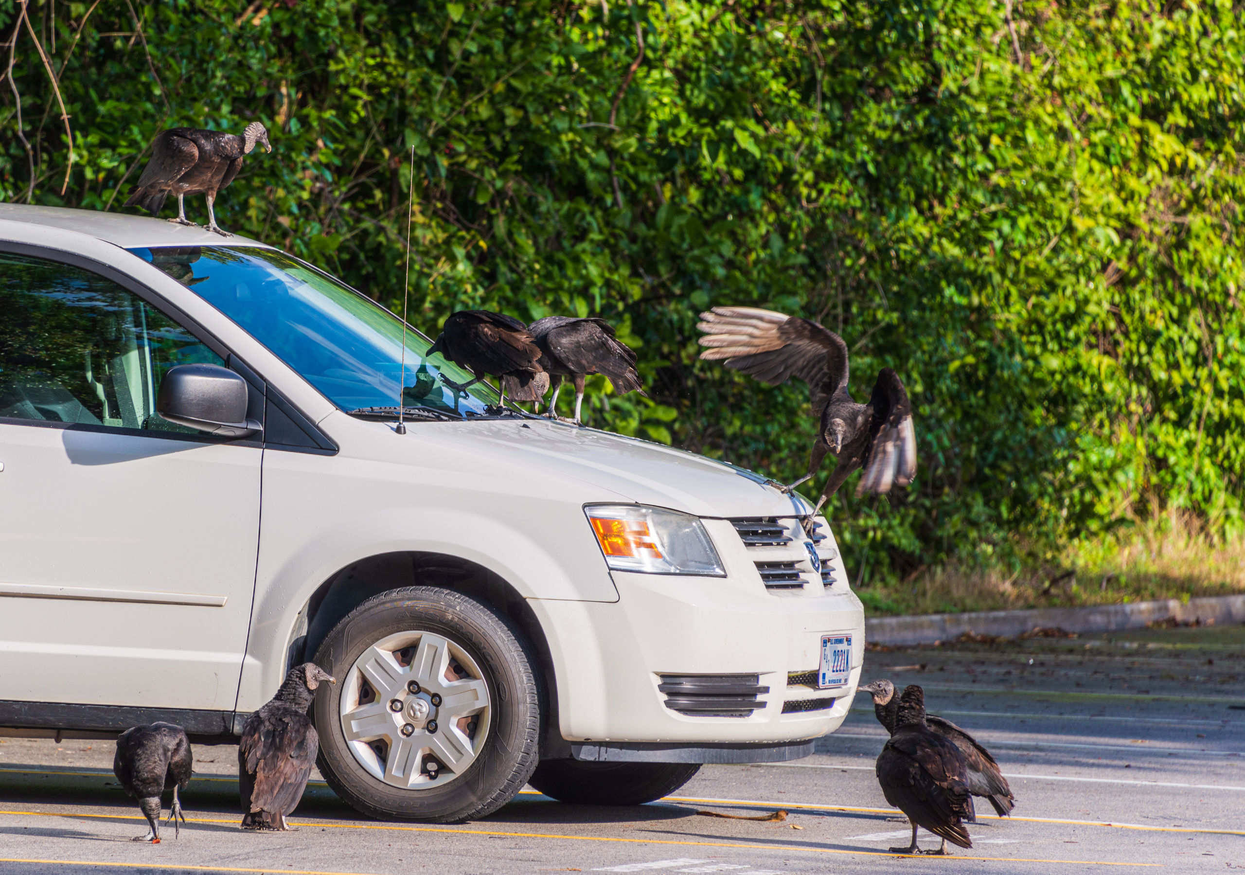 Everglades Vultures Love the taste of Minivans